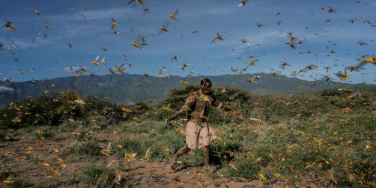 En ny metod hjälper jordbrukare i Kenya att bekämpa stora gräshoppssvärmar som också genererar en inkomst.