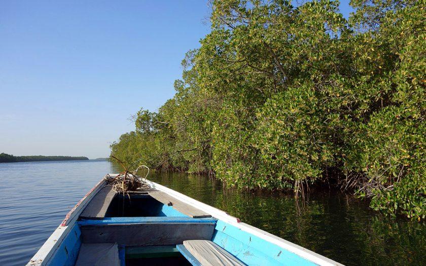 Under de senaste elva åren har Senegal kämpat för att plantera mangroveträd för att skydda landet mot hot om klimatförändringar.