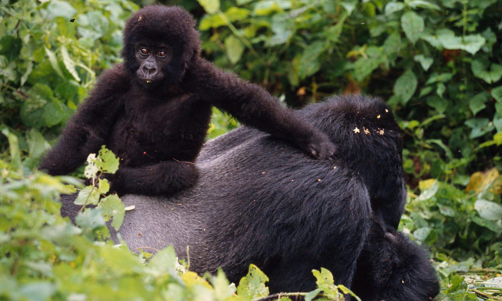 Positiv ökning av bergsgorillorna i Afrika – en av december månads hoppfulla nyheter!