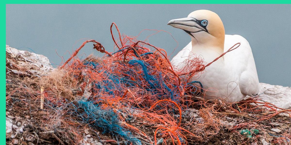 Många sjöfåglar kvävs när de har ätit plast, rep, kartong, metall och annat som hittas i världens största soptipp.
